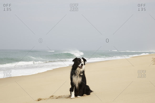 Border collie sitting on a beach