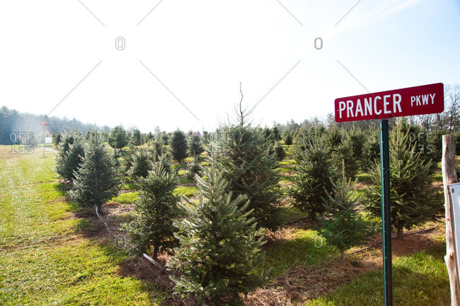 Accord, NY, USA - November 21, 2012: Christmas tree plantation in Accord, NY, USA