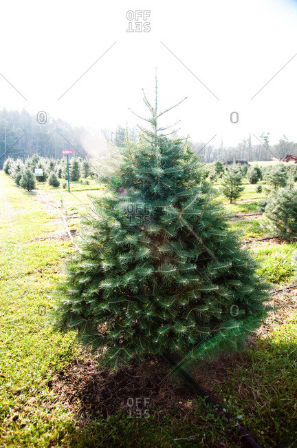 Accord, NY, USA - November 21, 2012: Tree plantation in Accord, NY, USA