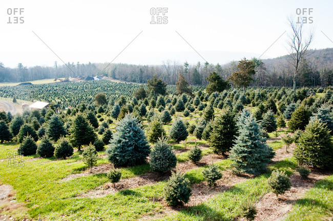 Accord, NY, USA - November 21, 2012: Christmas tree farm in Accord, NY, USA
