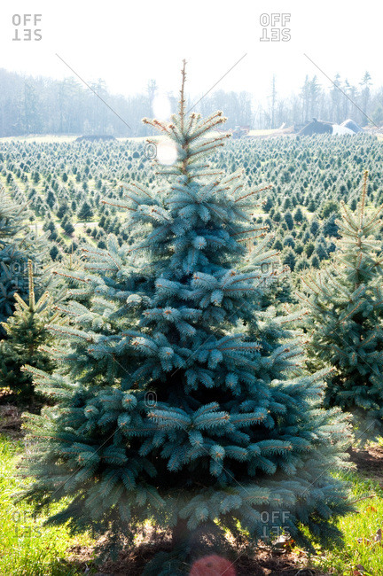 Accord, NY, USA - November 21, 2012: Colorado blue spruce on a tree farm in Accord, NY, USA