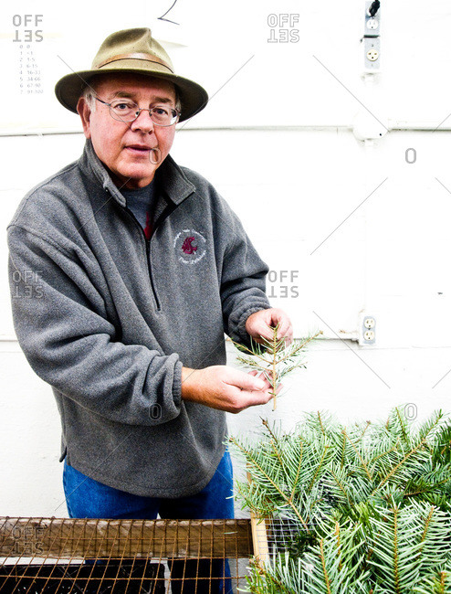Tacoma, WA, USA - November 15, 2014: Man holding fir samples on a tree farm in Tacoma, WA, USA