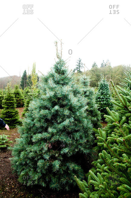 Conifers on a tree farm in Tacoma, WA, USA