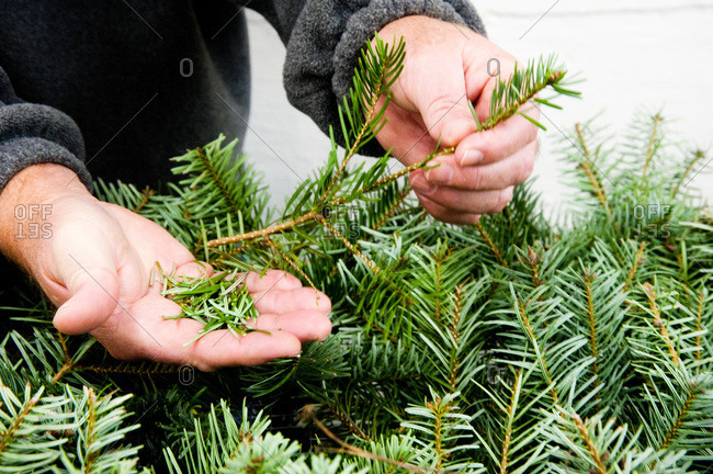 Man showing fir samples on a tree farm in Tacoma, WA, USA