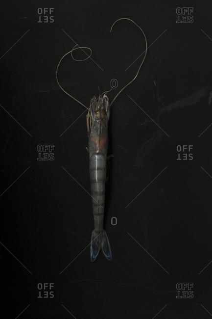 Blue-tailed shrimp on black background