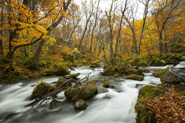 Oirase river in a Japanese forest