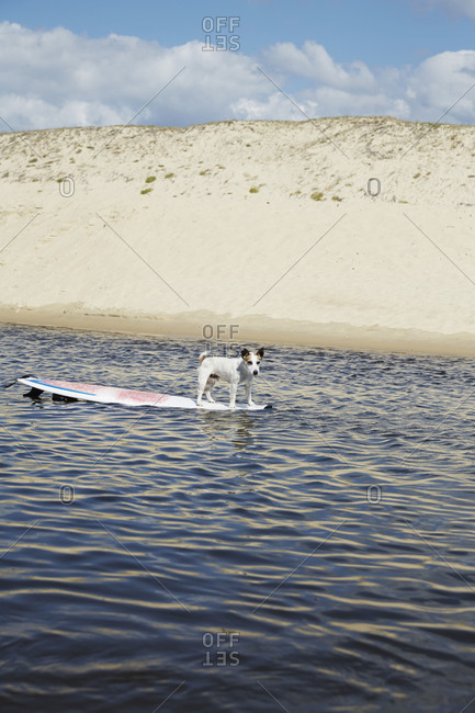 Dog standing on surfboard in ocean