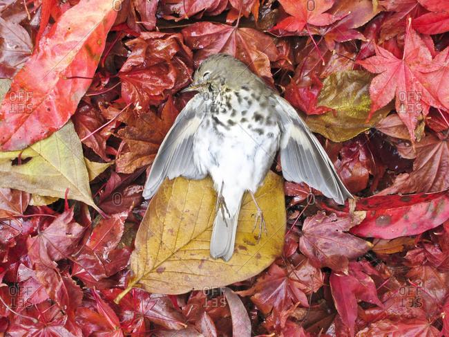 Dead sparrow on fall leaves