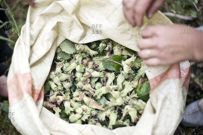 Woman holding bag of hazelnut crop