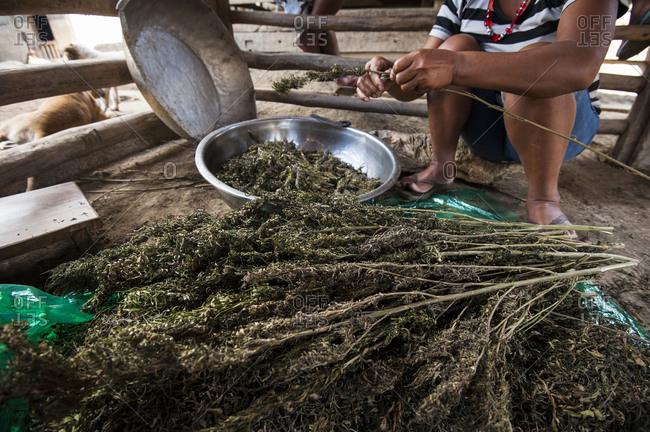 Woman prepares illegal marijuana in village