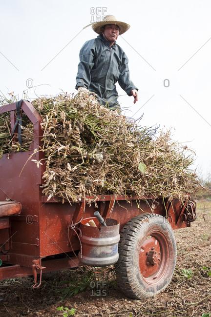 Taean County, Chungcheong Province, South Korea - October 29, 2012: Korean farmer harvesting soy beans