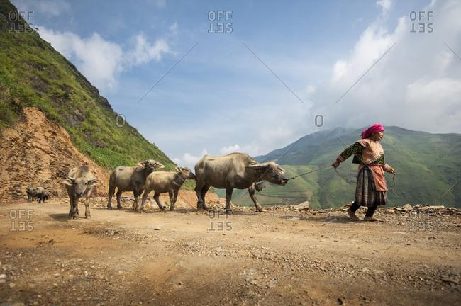 Sa Pa, Lo Cai, Vietnam - May 14, 2012: Hmong woman on a mountain road transporting water buffalo to a local market