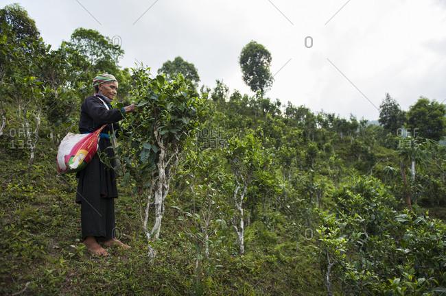 Sa Pa, Lo Cai, Vietnam - May 14, 2012: Tay women collecting green tea leaves