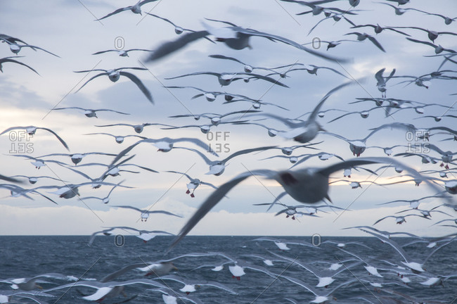Gulls on the Bering Sea