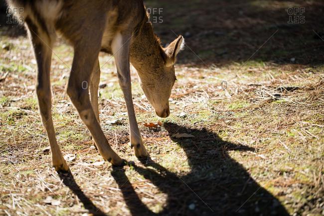 Deer grazing in a park, Nara, Japan