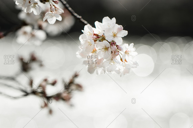 Cherry blossom in spring, Osaka, Japan