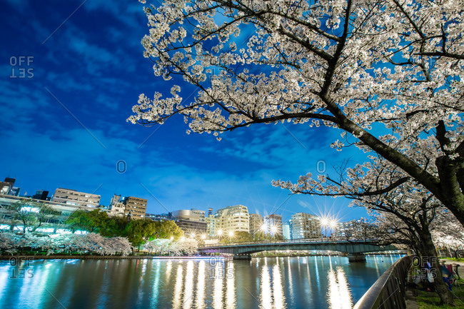 Cherry blossom in spring, Osaka, Japan