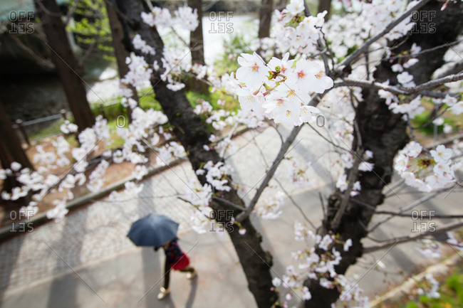 Woman walking under cherry blossoms with an umbrella, Osaka, Japan
