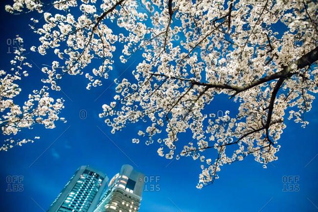 April 2, 2014: Cherry blossom in spring, Osaka, Japan