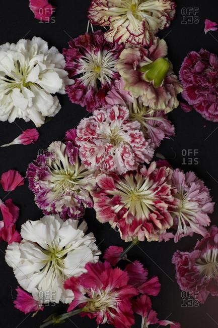 Carnation flower heads on black background