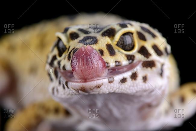 Portrait of leopard gecko, Eublepharis macularius