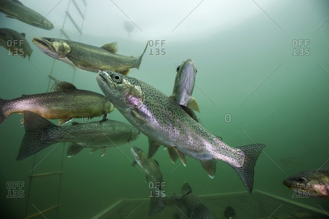 Brook trouts and rainbow trouts