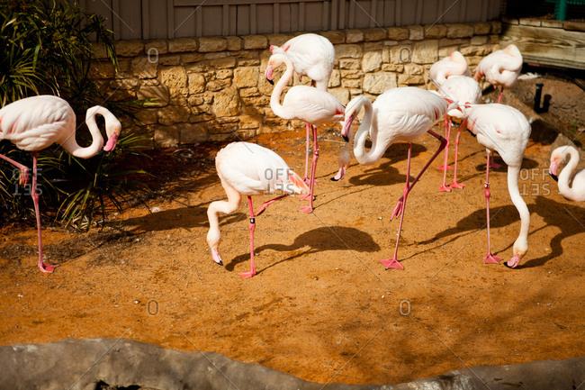 Flamingo flock in a zoo