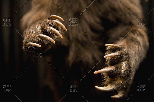 Close up of bear claws