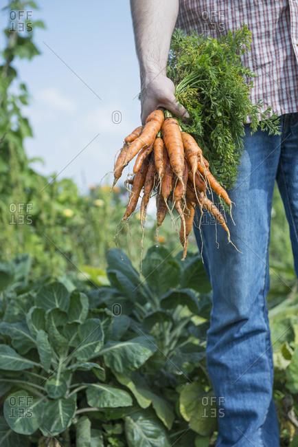 Growing own vegetables man garden carrots