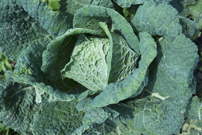 Close-up cabbage vegetable from above