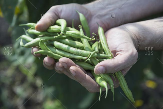 Close-up man hands holding green beans