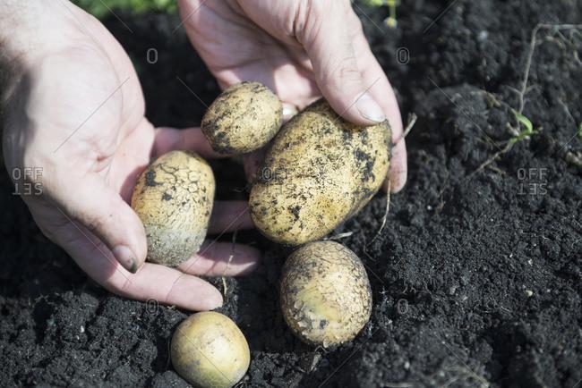 Bio vegetables growing own potatoes garden