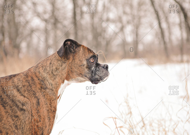 Boxer dog standing outdoors