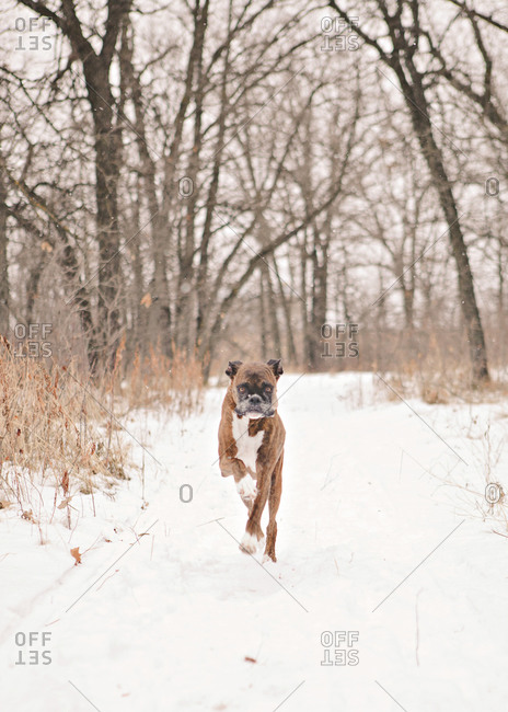 Boxer dog running in the snow