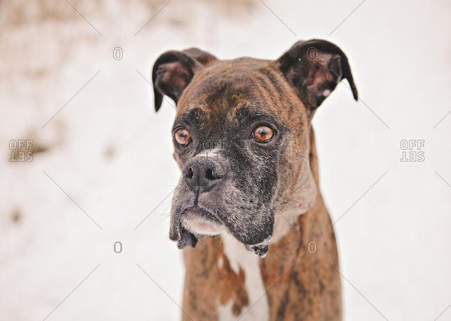 Portrait of an alert boxer dog