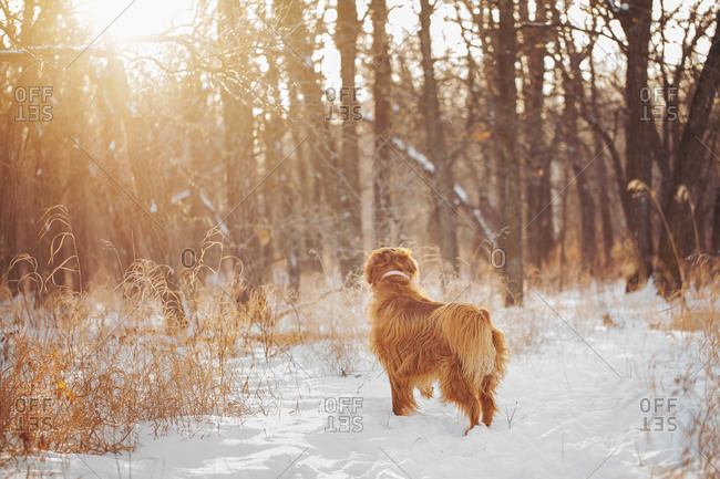 Watchful dog in a winter forest