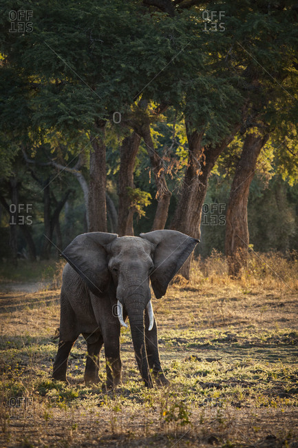 Elephant in its natural habitat