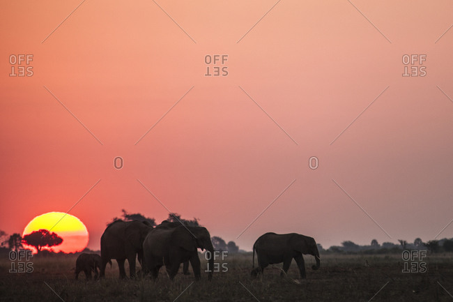 Group of elephants at sunset
