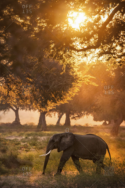 African elephant walking amongst trees