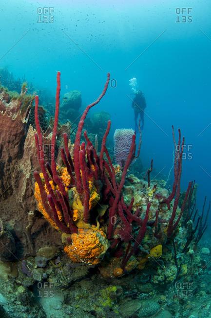 Female scuba diver approaches bouquet of sponges