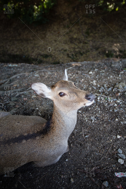 Deer sitting on ground in Nara, Japan