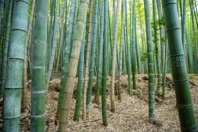 Bamboo in preserve in Kyoto