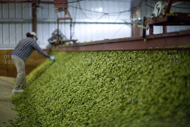 Hops going through the drying process in the kiln
