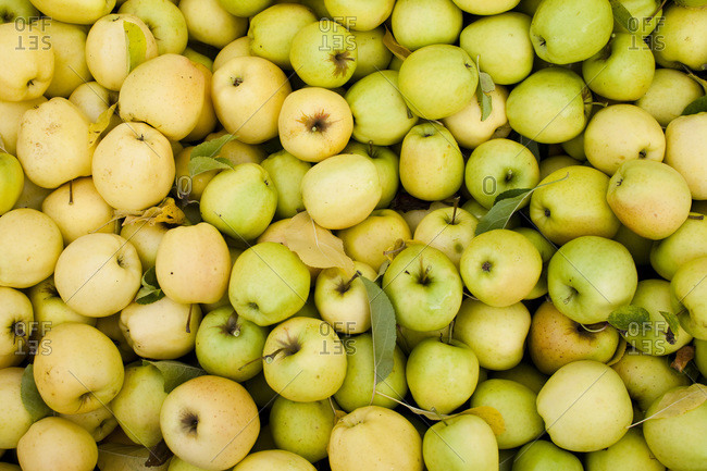 A pile of yellow apples at a cider press in central Washington