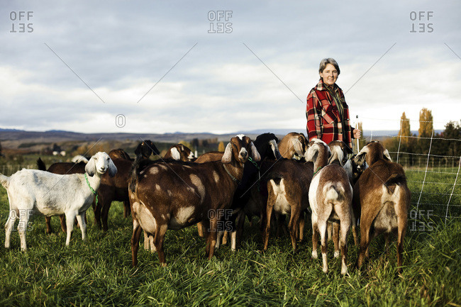 A woman walks a goat to the milking station in a field at sunrise