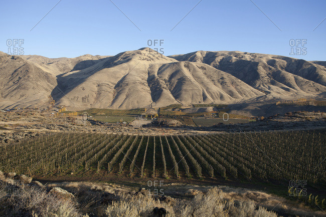 A field of grapes at a vineyard at the foot of dry mountains