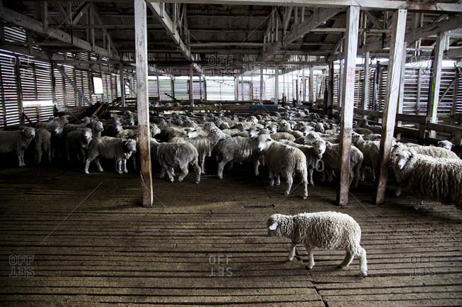 A farmhouse with a flock of sheep bunched together