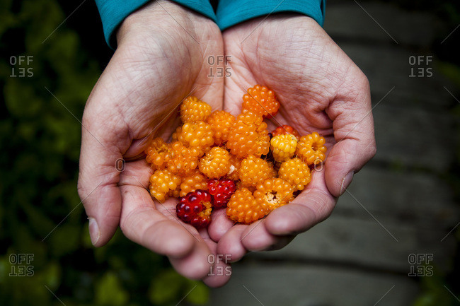A handful of salmonberries in the Olympic National Park, Washington