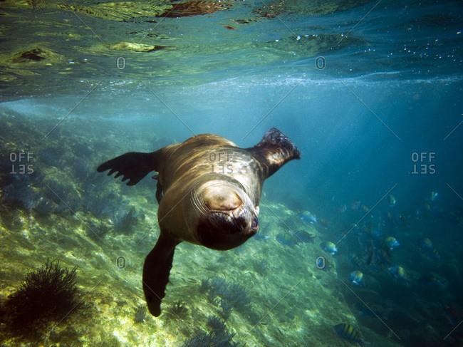 A playful seal spins in the Sea of Cortes near La Paz, Baja California Sur, Mexico