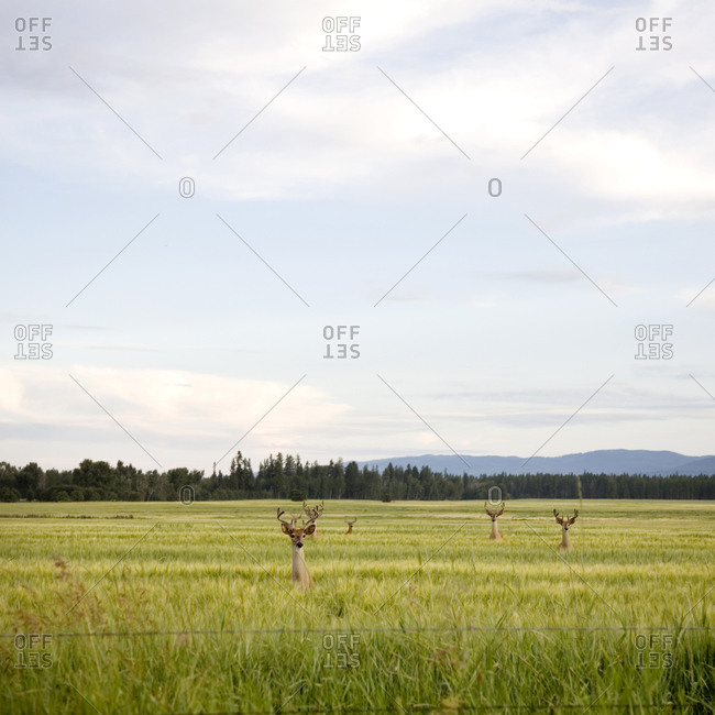 Six deer standing in a field all looking at the camera in Flathead Valley, Montana